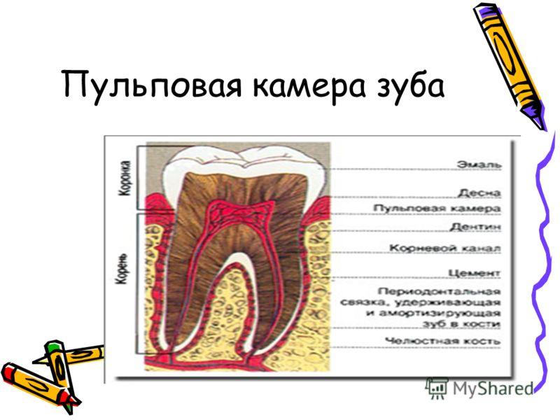 Пульповая камера зуба