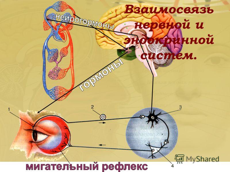 Взаимосвязь нервной и эндокринной систем.