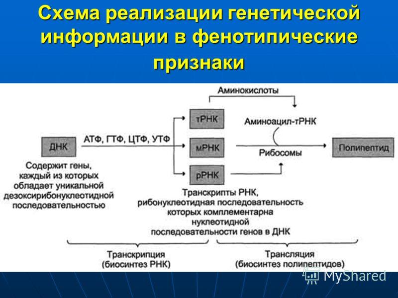 Схема реализации генетической информации в фенотипические признаки