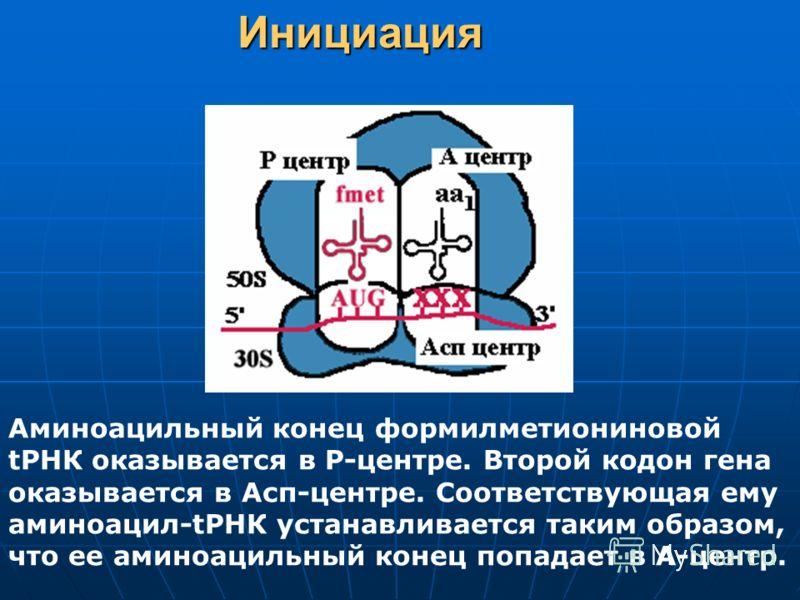 Инициация Аминоацильный конец формилметиониновой tРНК оказывается в Р-центре. Второй кодон гена оказывается в Асп-центре. Соответствующая ему аминоацил-tРНК устанавливается таким образом, что ее аминоацильный конец попадает в А-центр.