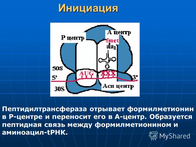 Инициация Пептидилтрансфераза отрывает формилметионин в Р-центре и переносит его в А-центр. Образуется пептидная связь между формилметионином и аминоацил-tРНК.