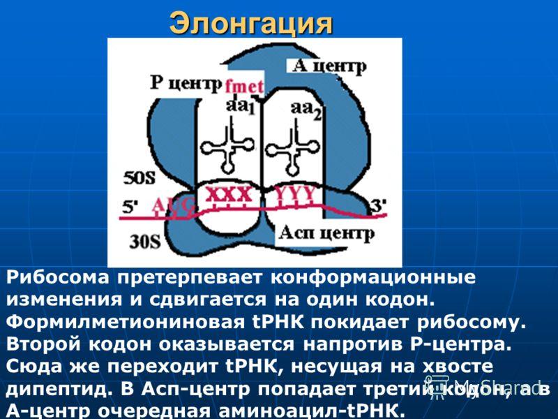 Элонгация Рибосома претерпевает конформационные изменения и сдвигается на один кодон. Формилметиониновая tРНК покидает рибосому. Второй кодон оказывается напротив Р-центра. Сюда же переходит tРНК, несущая на хвосте дипептид. В Асп-центр попадает трет