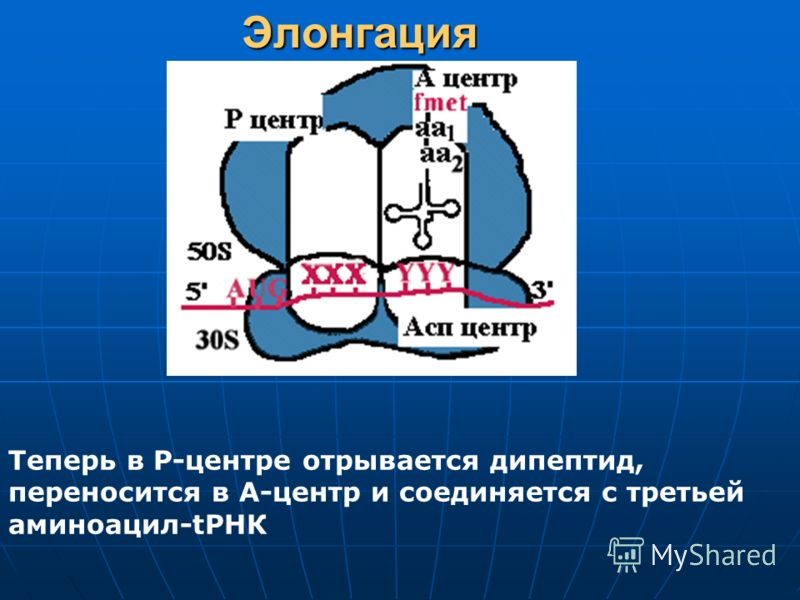 Элонгация Теперь в Р-центре отрывается дипептид, переносится в А-центр и соединяется с третьей аминоацил-tРНК