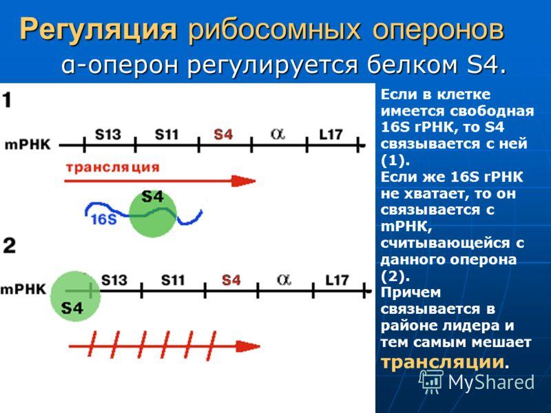 Регуляция рибосомных оперонов α-оперон регулируется белком S4. Если в клетке имеется свободная 16S rРНК, то S4 связывается с ней (1). Если же 16S rРНК не хватает, то он связывается с mРНК, считывающейся с данного оперона (2). Причем связывается в рай