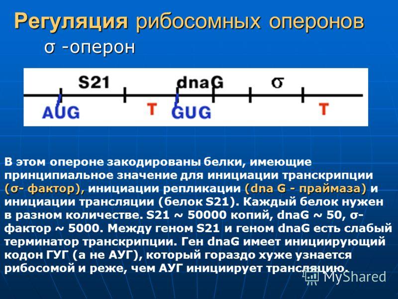 Регуляция рибосомных оперонов σ -оперон (σ- фактор),(dna G - праймаза) В этом опероне закодированы белки, имеющие принципиальное значение для инициации транскрипции (σ- фактор), инициации репликации (dna G - праймаза) и инициации трансляции (белок S2
