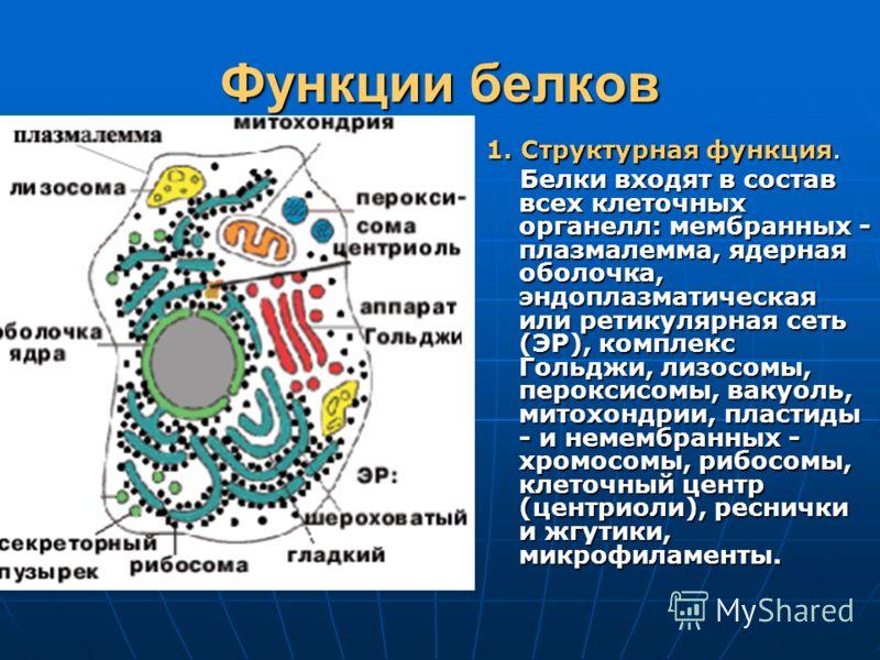 Функции белков 1. Структурная функция. Белки входят в состав всех клеточных органелл: мембранных - плазмалемма, ядерная оболочка, эндоплазматическая или ретикулярная сеть (ЭР), комплекс Гольджи, лизосомы, пероксисомы, вакуоль, митохондрии, пластиды -