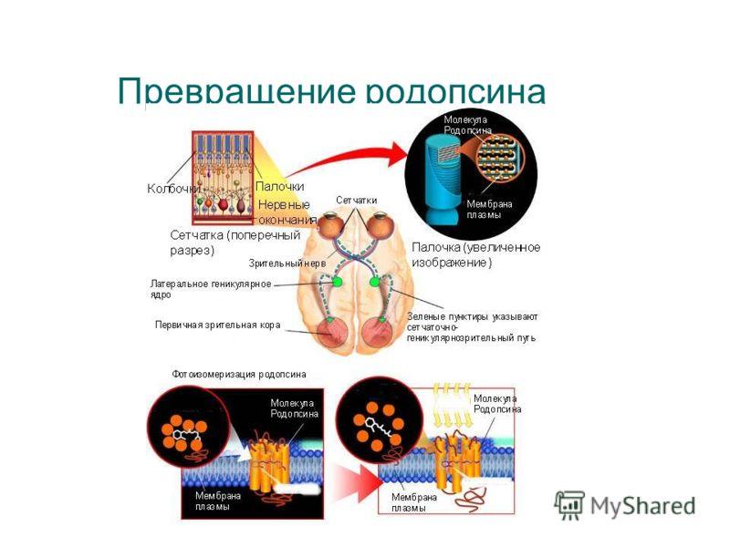 Превращение родопсина