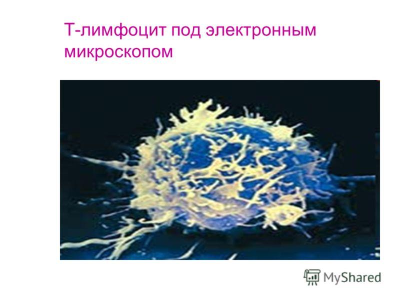 Т-лимфоцит под электронным микроскопом