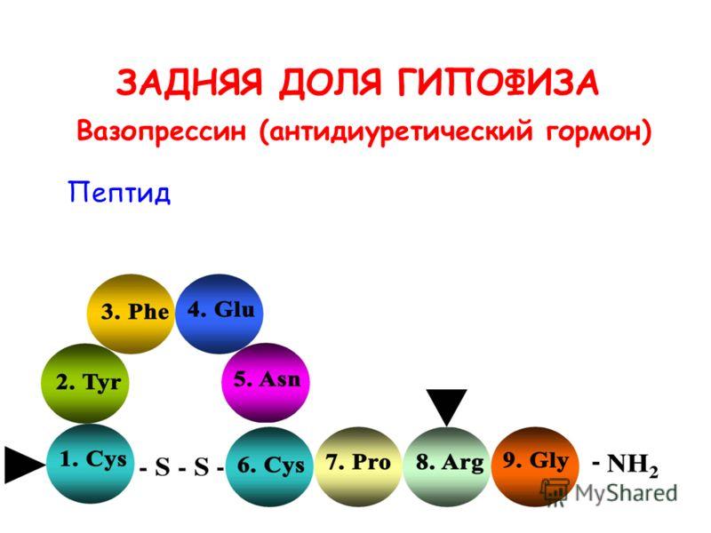 ЗАДНЯЯ ДОЛЯ ГИПОФИЗА Пептид Вазопрессин (антидиуретический гормон)
