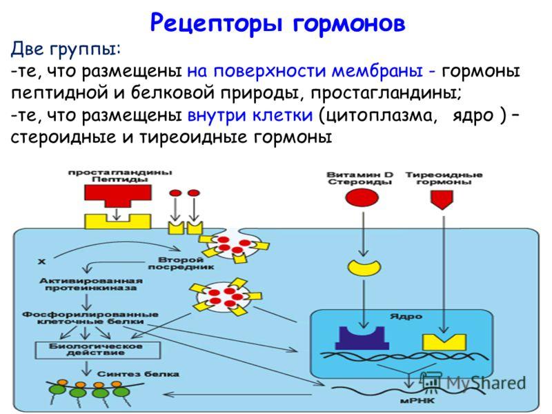 Рецептор ы гормон о в Две группы: -те, что размещены на поверхности мембраны - гормоны пептидной и белковой природы, простагландины; -те, что размещены внутри клетки (цитоплазма, ядро ) – стероидные и тиреоидные гормоны