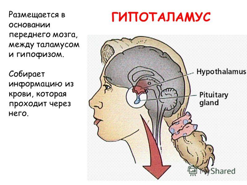 ГИПОТАЛАМУС Размещается в основании переднего мозга, между таламусом и гипофизом. Собирает информацию из крови, которая проходит через него.
