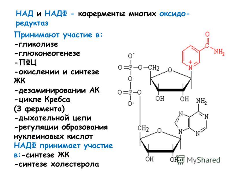 НАД и НАДФ - коферменты многих оксидо- редуктаз Принимают участие в: -гликолизе -глюконеогенезе -ПФЦ -окислении и синтезе ЖК -дезаминировании АК -цикле Кребса (3 фермента) -д ы хательной цепи -регуляции образования нуклеиновых кислот НАДФ принимает у