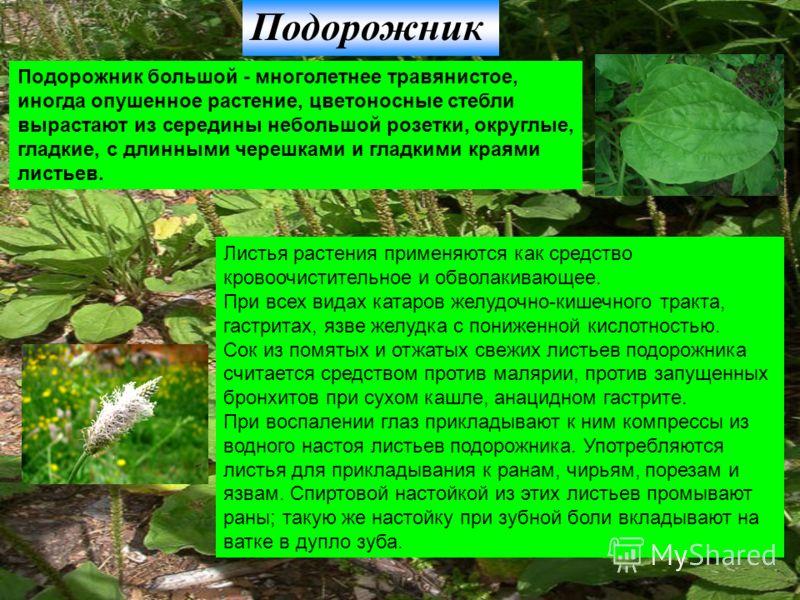 Подорожник Подорожник большой - многолетнее травянистое, иногда опушенное растение, цветоносные стебли вырастают из середины небольшой розетки, округлые, гладкие, с длинными черешками и гладкими краями листьев. Листья растения применяются как средств
