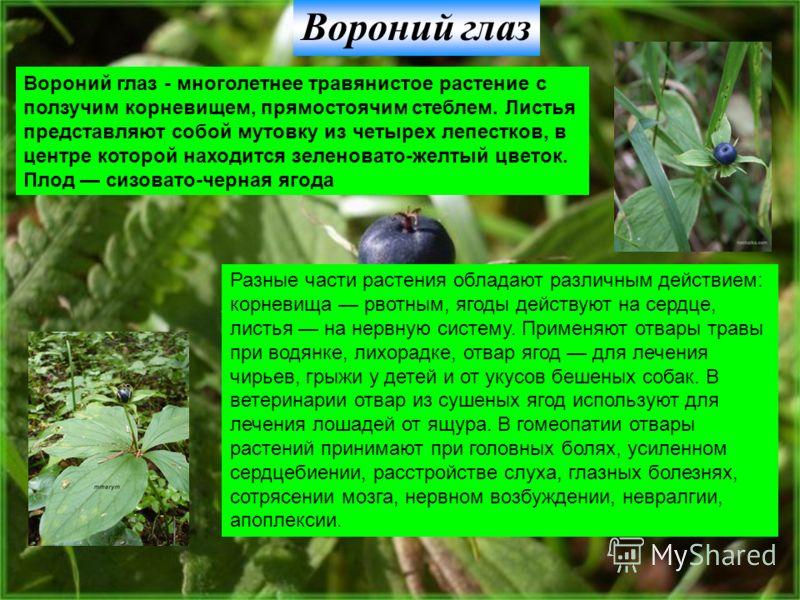 Вороний глаз Вороний глаз - многолетнее травянистое растение с ползучим корневищем, прямостоячим стеблем. Листья представляют собой мутовку из четырех лепестков, в центре которой находится зеленовато-желтый цветок. Плод сизовато-черная ягода Разные ч