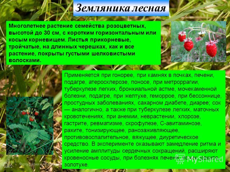Земляника лесная Многолетнее растение семейства розоцветных, высотой до 30 см, с коротким горизонтальным или косым корневищем. Листья прикорневые, тройчатые, на длинных черешках, как и все растение, покрыты густыми шелковистыми волосками. Применяется