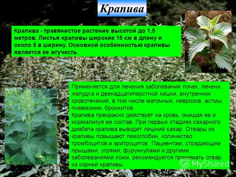 Крапива Крапива - травянистое растение высотой до 1,5 метров. Листья крапивы широкие 15 см в длину и около 5 в ширину. Основной особенностью крапивы является ее жгучесть. Применяется для лечения заболеваний почек, печени, желудка и двенадцатиперстной