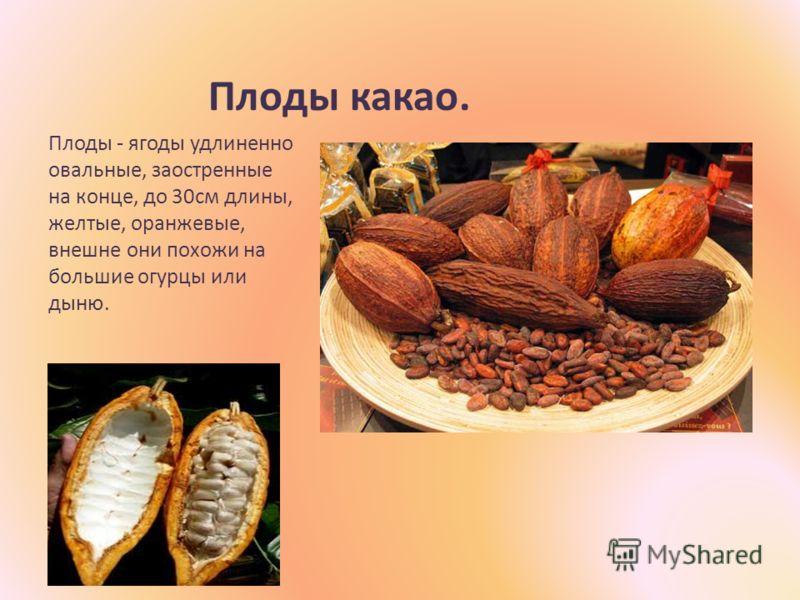Плоды какао. Плоды - ягоды удлиненно овальные, заостренные на конце, до 30см длины, желтые, оранжевые, внешне они похожи на большие огурцы или дыню.