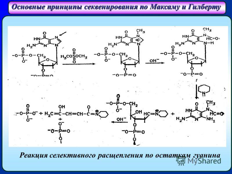 Основные принципы секвенирования по Максаму и Гилберту Реакция селективного расщепления по остаткам гуанина