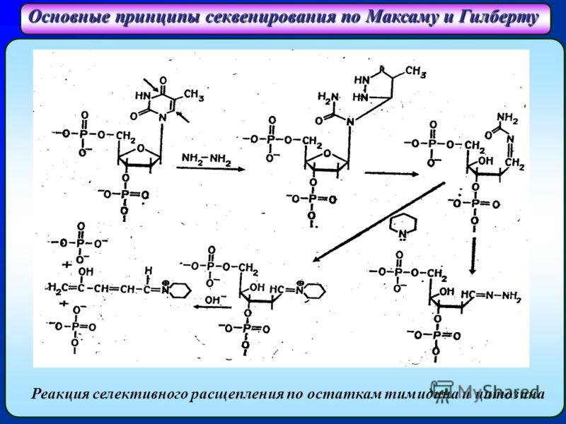 Основные принципы секвенирования по Максаму и Гилберту Реакция селективного расщепления по остаткам тимидина и цитозина