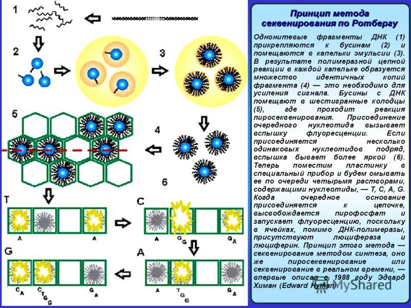 Принцип метода секвенирования по Ротбергу Однонитевые фрагменты ДНК (1) прикрепляются к бусинам (2) и помещаются в капельки эмульсии (3). В результате полимеразной цепной реакции в каждой капельке образуется множество идентичных копий фрагмента (4) э