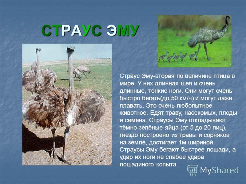 СТРАУС ЭМУ Страус Эму-вторая по величине птица в мире. У них длинная шея и очень длинные, тонкие ноги. Они могут очень быстро бегать(до 50 км/ч) и могут даже плавать. Это очень любопытное животное. Едят траву, насекомых, плоды и семена. Страусы Эму о