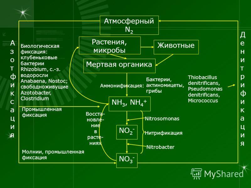 Атмосферный N 2 NO 3 - NO 2 - NH 3, NH 4 + Растения, микробы Животные Мертвая органика АзотфиксацияАзотфиксация ДенитрификацияДенитрификация Биологическая фиксация: клубеньковые бактерии Rhizobium, с.-з. водоросли Anabaena, Nostoc; свободноживущие Az