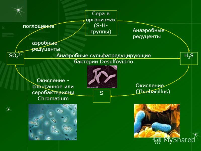 SO 4 2- H2SH2S Сера в организмах (S-H- группы) S Анаэробные сульфатредуцирующие бактерии Desulfovibrio поглощение аэробные редуценты Анаэробные редуценты Окисление (Thiobacillus) Окисление - спонтанное или серобактериями Chromatium