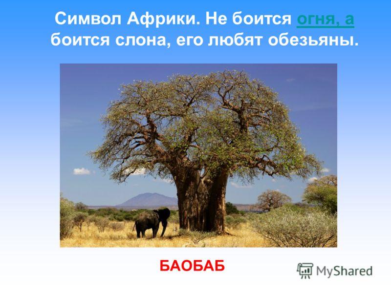 Символ Африки. Не боится огня, а боится слона, его любят обезьяны.огня, а БАОБАБ