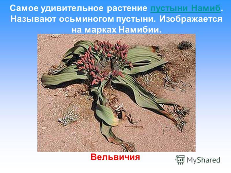 Самое удивительное растение пустыни Намиб. Называют осьминогом пустыни. Изображается на марках Намибии.пустыни Намиб Вельвичия