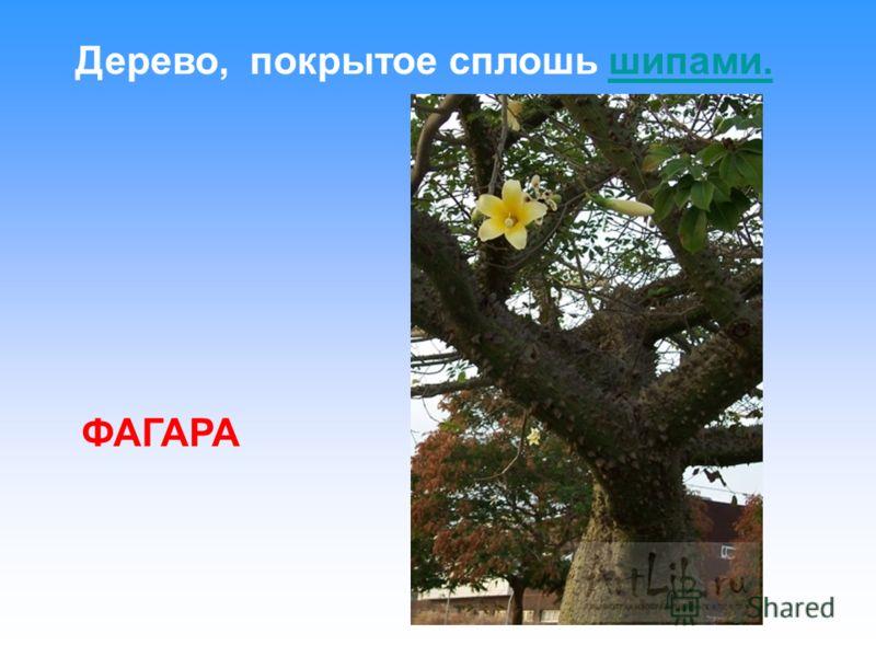 Дерево, покрытое сплошь шипами. ФАГАРА