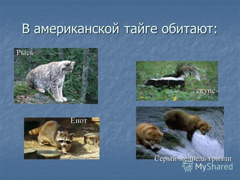 В американской тайге обитают: скунс Рысь Енот Серый медведь гризли