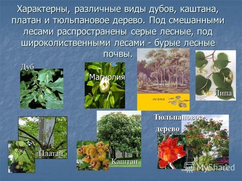 Характерны, различные виды дубов, каштана, платан и тюльпановое дерево. Под смешанными лесами распространены серые лесные, под широколиственными лесами - бурые лесные почвы. Дуб Магнолия Липа Платан Каштан Тюльпановое дерево