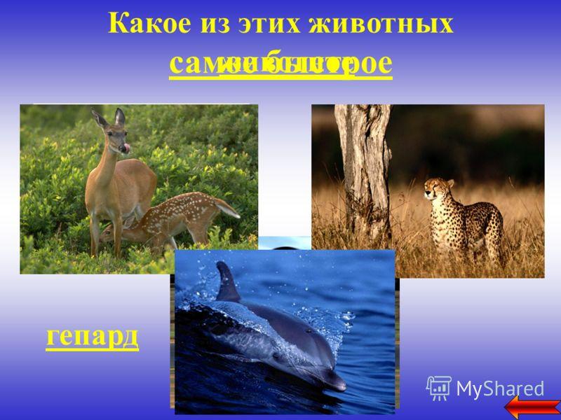 Какое из этих животных самое быстрое животное гепард