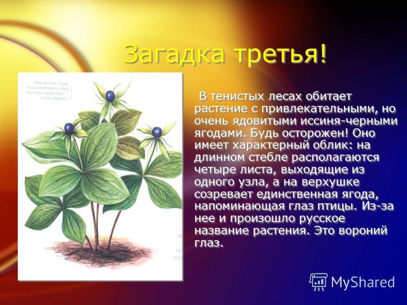 Загадка третья! В тенистых лесах обитает растение с привлекательными, но очень ядовитыми иссиня-черными ягодами. Будь осторожен! Оно имеет характерный облик: на длинном стебле располагаются четыре листа, выходящие из одного узла, а на верхушке созрев