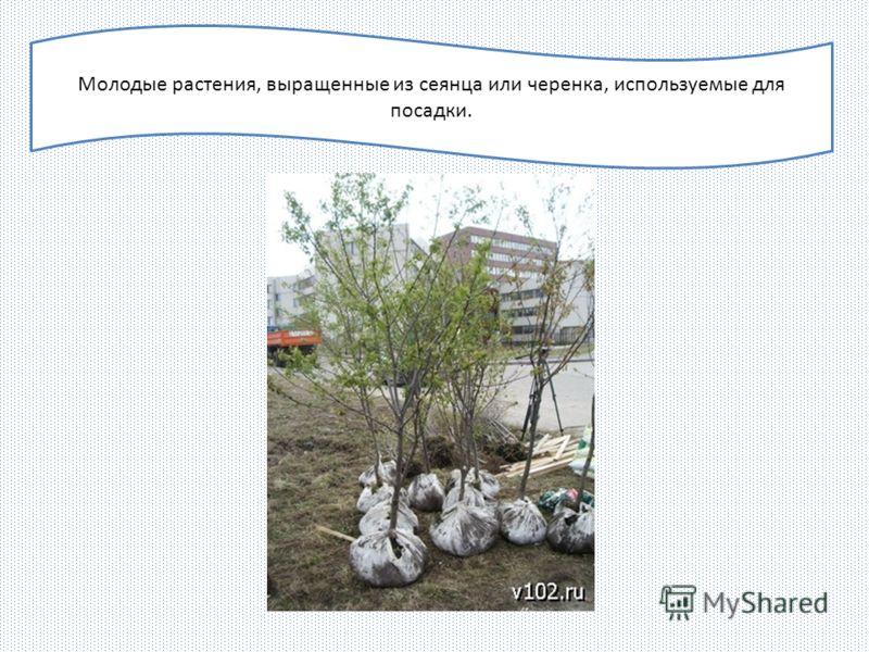 Молодые растения, выращенные из сеянца или черенка, используемые для посадки.