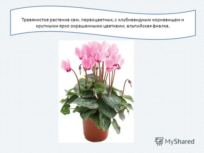 Травянистое растение сем. первоцветных, с клубневидным корневищем и крупными ярко окрашенными цветками; альпийская фиалка.
