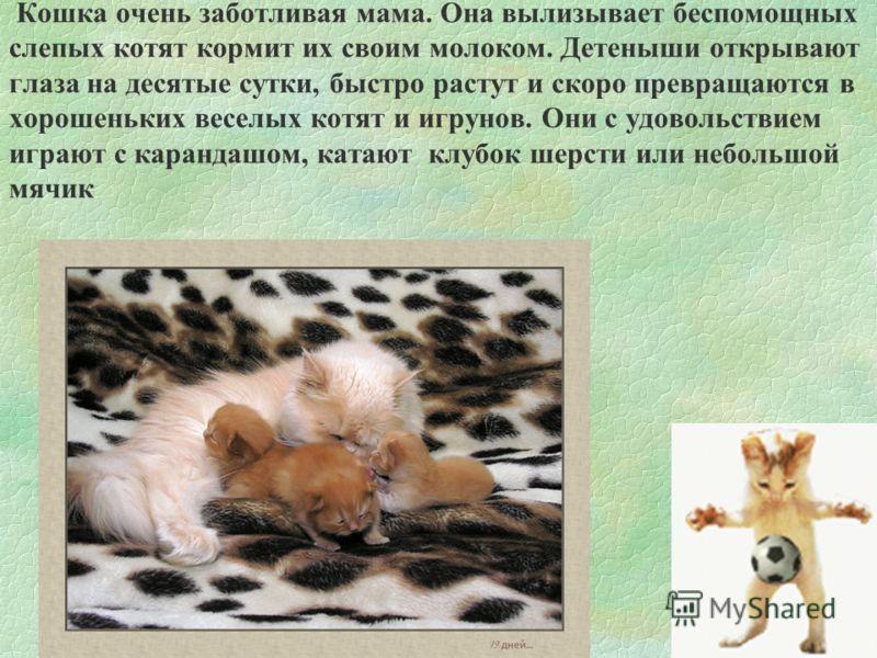 Кошка очень заботливая мама. Она вылизывает беспомощных слепых котят кормит их своим молоком. Детеныши открывают глаза на десятые сутки, быстро растут и скоро превращаются в хорошеньких веселых котят и игрунов. Они с удовольствием играют с карандашом