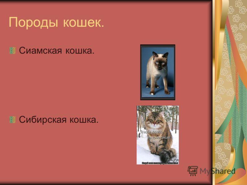 Породы кошек. Сиамская кошка. Сибирская кошка.
