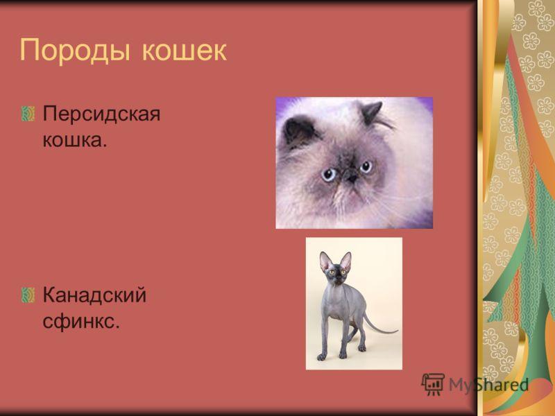 Породы кошек Персидская кошка. Канадский сфинкс.