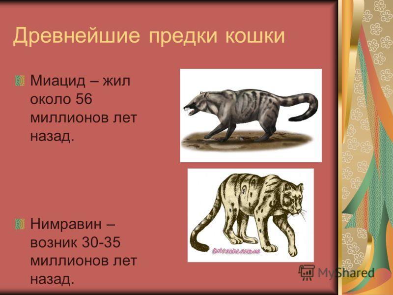 Древнейшие предки кошки Миацид – жил около 56 миллионов лет назад. Нимравин – возник 30-35 миллионов лет назад.