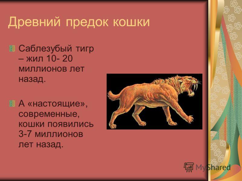 Древний предок кошки Саблезубый тигр – жил 10- 20 миллионов лет назад. А «настоящие», современные, кошки появились 3-7 миллионов лет назад.