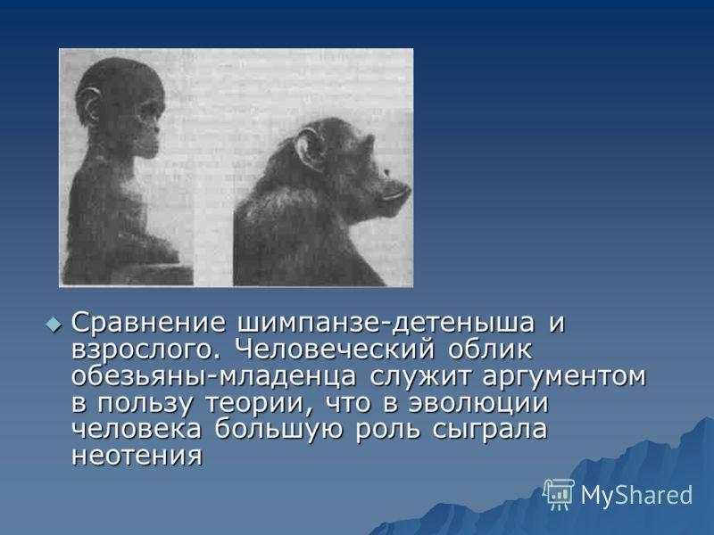 Сравнение шимпанзе-детеныша и взрослого. Человеческий облик обезьяны-младенца служит аргументом в пользу теории, что в эволюции человека большую роль сыграла неотения Сравнение шимпанзе-детеныша и взрослого. Человеческий облик обезьяны-младенца служи