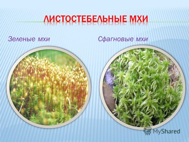Зеленые мхиСфагновые мхи