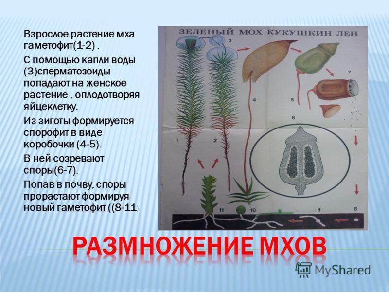 Взрослое растение мха гаметофит(1-2). С помощью капли воды (3)сперматозоиды попадают на женское растение, оплодотворяя яйцеклетку. Из зиготы формируется спорофит в виде коробочки (4-5). В ней созревают споры(6-7). Попав в почву, споры прорастают форм