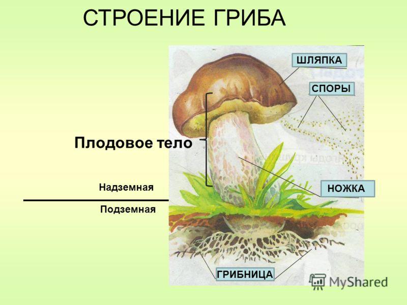 СТРОЕНИЕ ГРИБА ШЛЯПКА СПОРЫ НОЖКА ГРИБНИЦА Подземная Надземная Плодовое тело