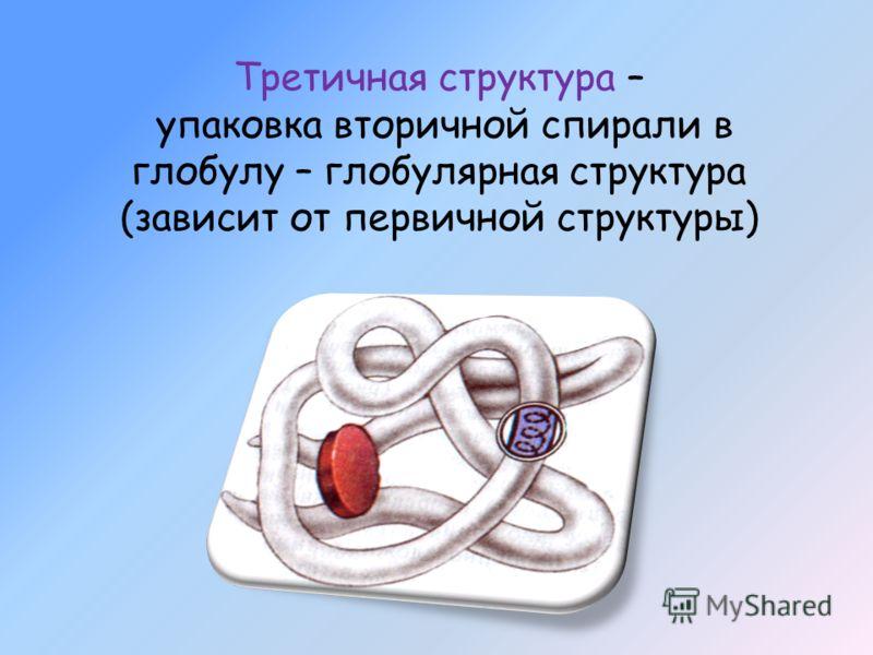 Третичная структура – упаковка вторичной спирали в глобулу – глобулярная структура (зависит от первичной структуры)