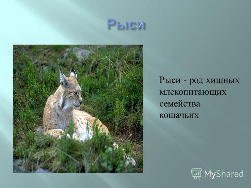 Рыси - род хищных млекопитающих семейства кошачьих