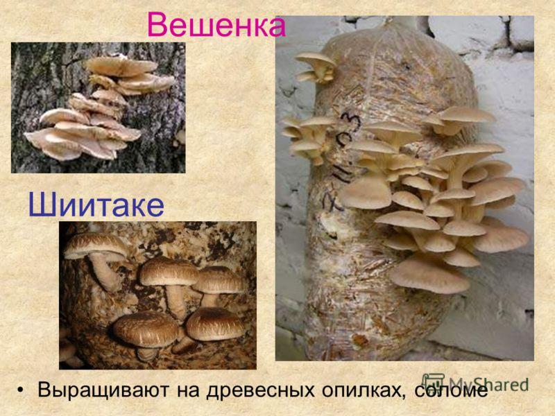 Выращивают на древесных опилках, соломе Шиитаке Вешенка