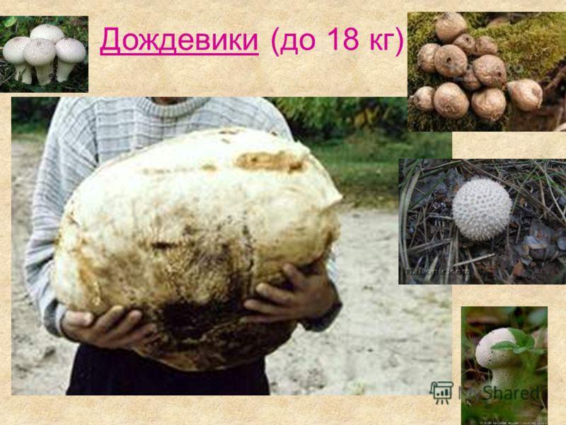 Дождевики (до 18 кг)