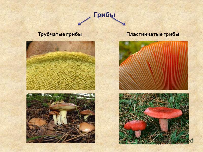 Грибы Трубчатые грибыПластинчатые грибы